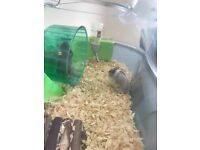 (Reserved) 2 Russian Dwarf Hamsters with cage