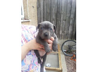Staffordshire Bull Terrier Pupp (x1 Bitch)