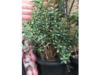 Jade tree / money plant 15 years old