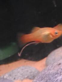 Baby platys for sale