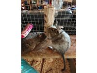2 friendly female Degus for rehoming, come with cage and all accessories