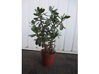 Crassula Ovata Succulent Plant