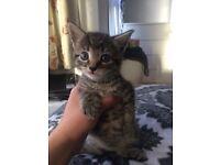 Smokey Dark Greyish Mackerel Male Kitten..INCREDIBLY PLAYFUL AND AFFECTIONATE..LAST KITTEN
