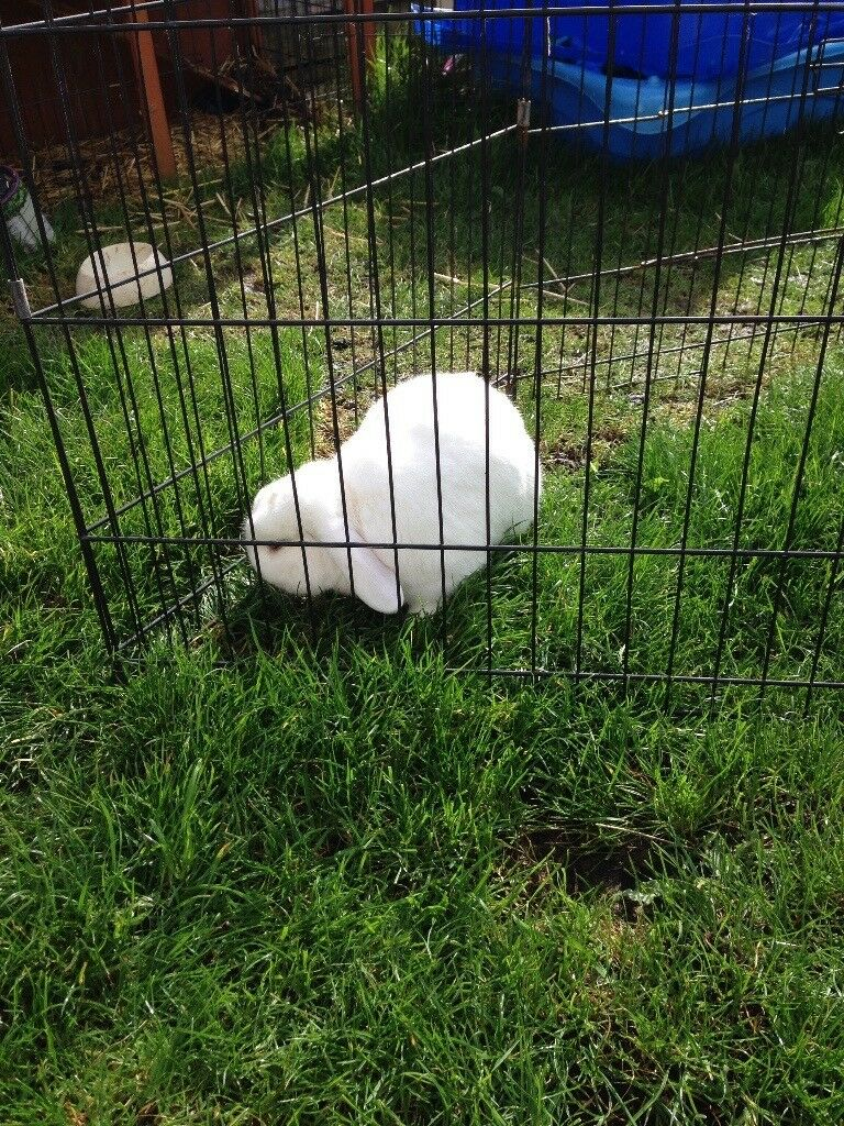 Rabbit needs good home