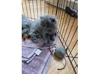 2 blue / lilac pedigree Persian kittens