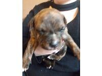Staffordshire puppy