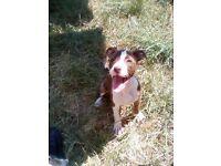 American Bulldog X Staffordshire Bullterrier