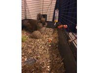 gawjuss little male mini rabbit