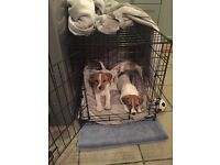 12 week old jack Russell, tan & white fully vaccinated wormed & microchipped.