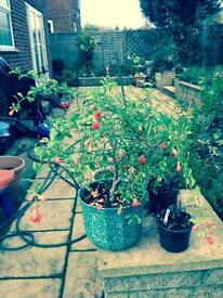 Miniature pomegranate tree for sale