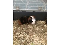 Male guinee pig