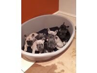 *Blue, blue fawn, black and tan, fawn french bulldogs*