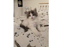 Norwegian Forrest kitten for sale