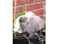 2 female mini lop eared rabbits