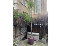 Yukka palm tree plant & pot