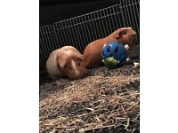 2 male Guinea pigs includes cage