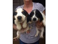 Basset hound cross cocker spaniel puppys