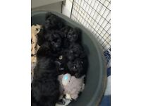 Pomapoo puppies, 2 male and 2 female, £600 each