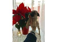 Pedigree Pug Female Ready to go now