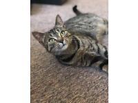 Tabby female cat is missing