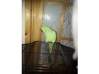 Female indian ringneck for sale