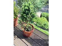 Plant for balcony or Garden (Christmas tree)
