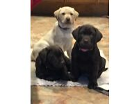 Labrador puppies ready now, chocolate and golden