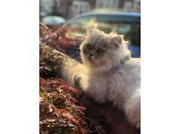 Persian chinchilla Male Cat