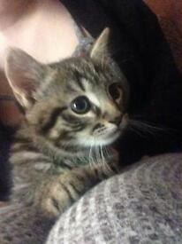 Complete tabby male kitten