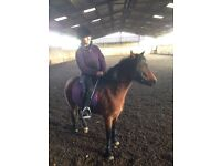 Project/lead rein/companion/show pony 12hh Welsh sec B for sale