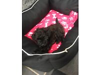 Toy poodle puppy little girl for sale