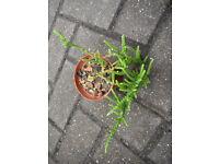 Plants for sale-Crassula Muscosa plants in a 9 cm pot