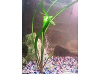 Fish tank plants CRYPTOCORINE for sale.