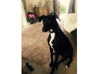 Lurcher dog for sale