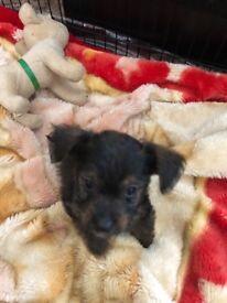 Patterdale x terrier puppy's