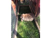 French lop bunnie for sale