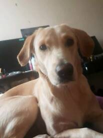 Golden Labrador 1 year old for sale