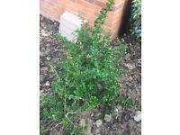 Large established Escalonia evergreen shrubs(at least 12!)
