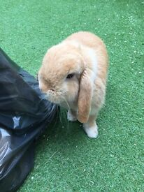 Mini lop 1 year old female rabbit for sale
