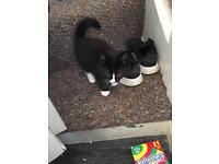 Black&white kitten