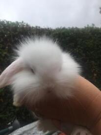 X lion head rabbits for sale