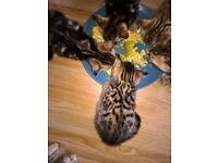 Bengal Kittens ready now only 1 boy 1 girl left