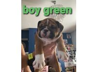 Bulldog puppies looking for forever home