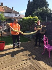 12ft male albino bermease python