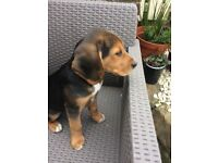Beautiful beagle pup