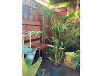Massive 1.7m Kentia Palm plant