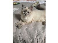 **MISSING** REWARD for our small Birman Cat from Stoke on Trent