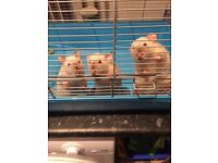 Free - 3 Female Himalayan Rats with 2 cages & accessories