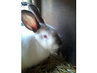 New zealand X california white rabbit for sale