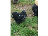 Lovely Home Bred Pekin Bantams Hens for sale